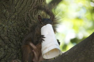 squirrel eating Styrofoam