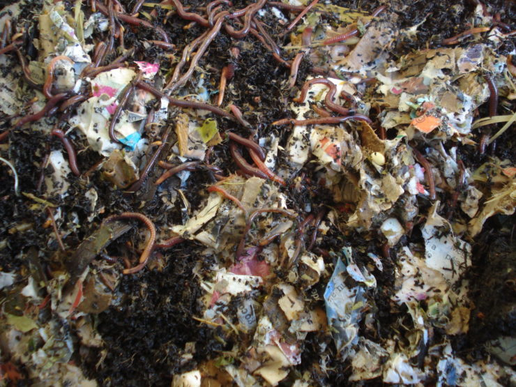 worms eating cardboard in compost heap