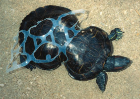 turtle caught in beer rings